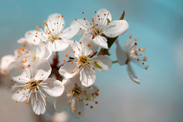 苹果花朵.jpg