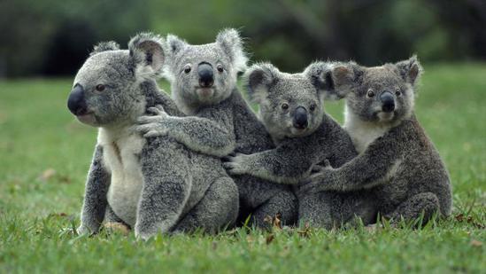【澳大利亚-龙柏考拉动物园】在线收听