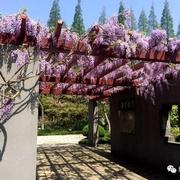 全上海最美的紫藤花都在这里了,即将迎来盛花期