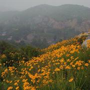 菊花爆满山-喜马拉雅fm