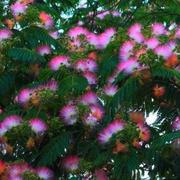 合欢树 | 史铁生-喜马拉雅fm