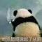 可恶小偷竟明目张胆薅社会主义国宝毛!!-妙宇连朱180411-喜马拉雅fm