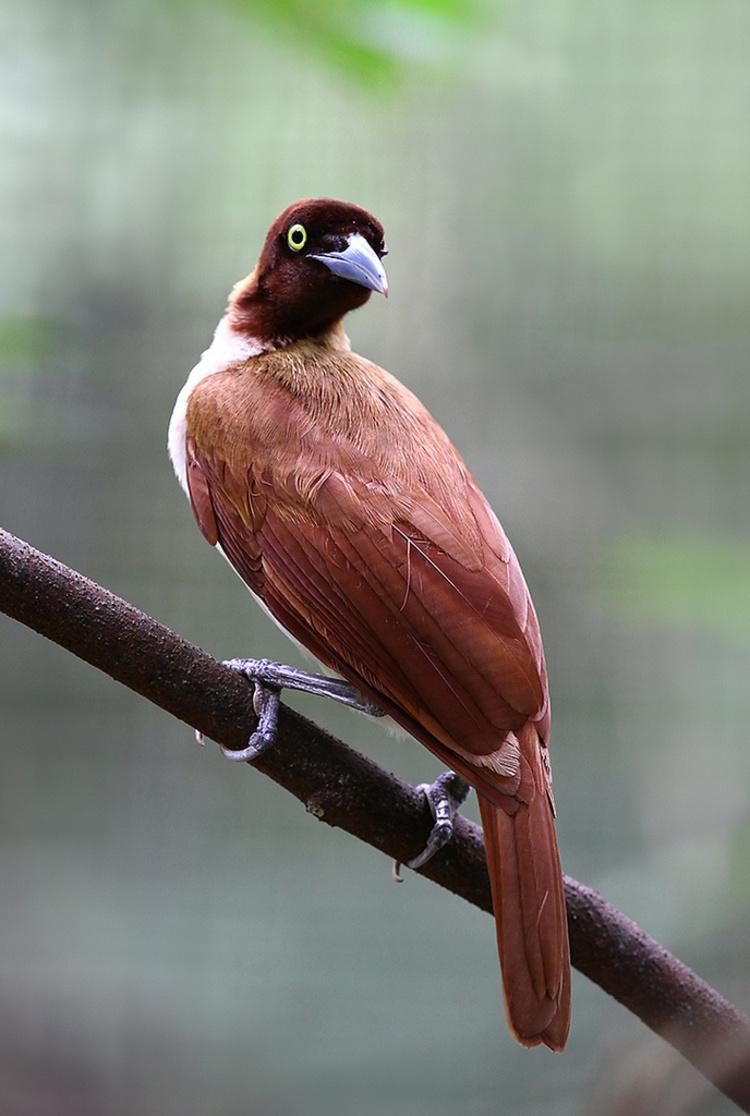 雌性大极乐鸟.jpg