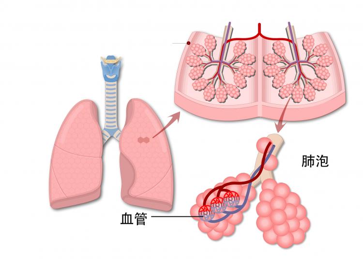 肺泡.jpg