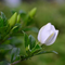栀子花 旧庭院-喜马拉雅fm