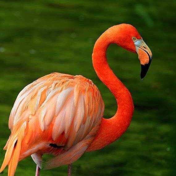火烈鸟的羽毛为什么是红色的?