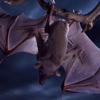 蝙蝠有什么用?